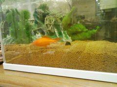 金魚引っ越し-3