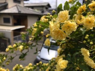2017木香薔薇