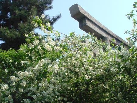 鳥居と卯の花