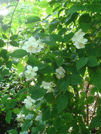 白い花満開