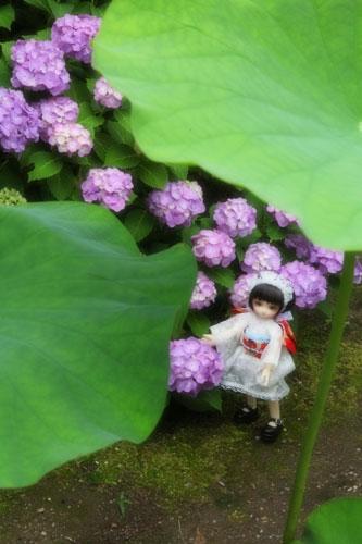 紫陽花とハス