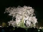 四条法律事務所 桜 八坂神社円山公園