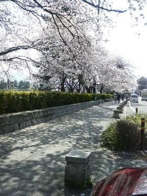 出町柳の桜1