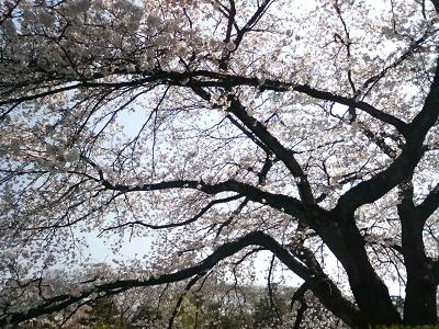 出町柳の桜2