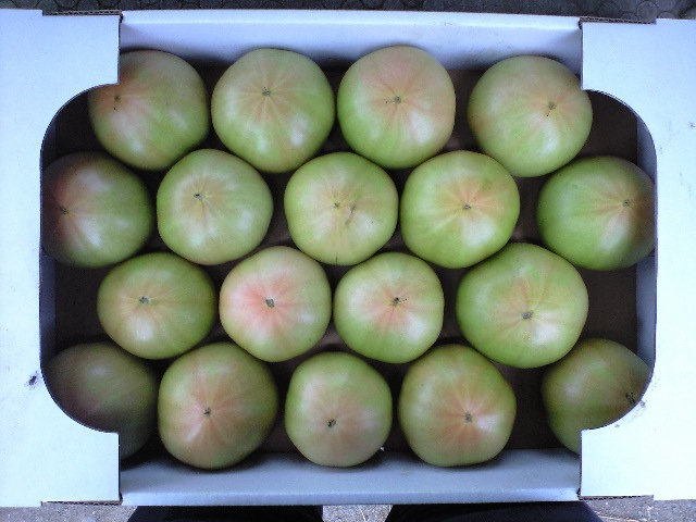 080727トマト収穫当日