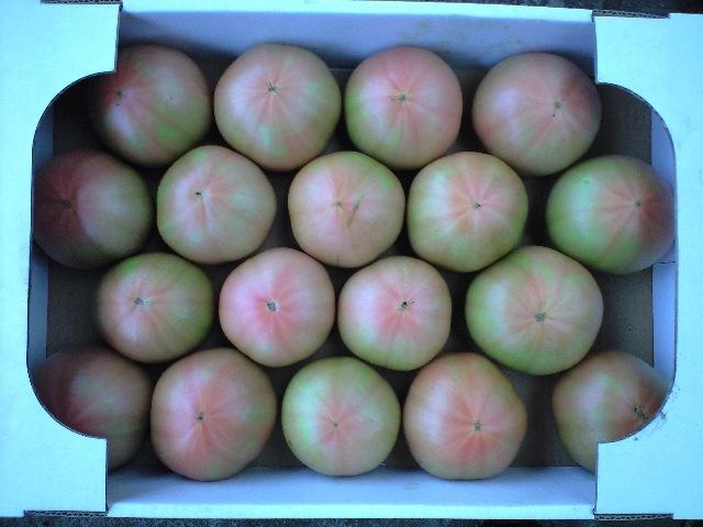 080728トマト収穫翌日