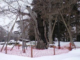 100125七戸町柏葉公園クリの木2