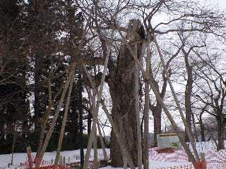100125七戸町柏葉公園クリの木3