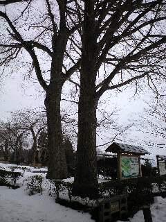 100125柏葉公園看板後ろの木