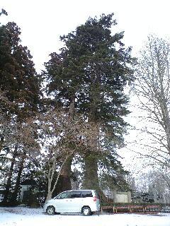 100125柏葉公園二巨木
