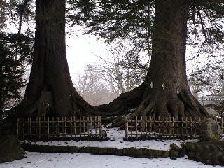 100125柏葉公園二巨木の根元