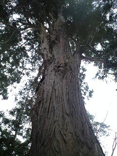 100125柏葉公園二巨木西2