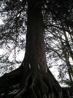100125柏葉公園二巨木東1