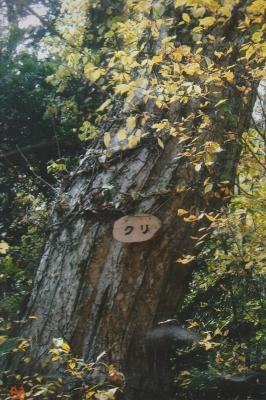 100223クリの木