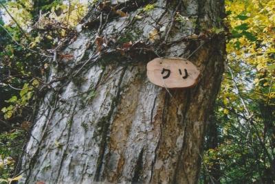100223クリの木拡大