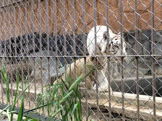 東武動物園 ホワイトタイガー 親子