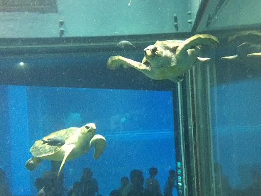 海遊館 ウミガメ