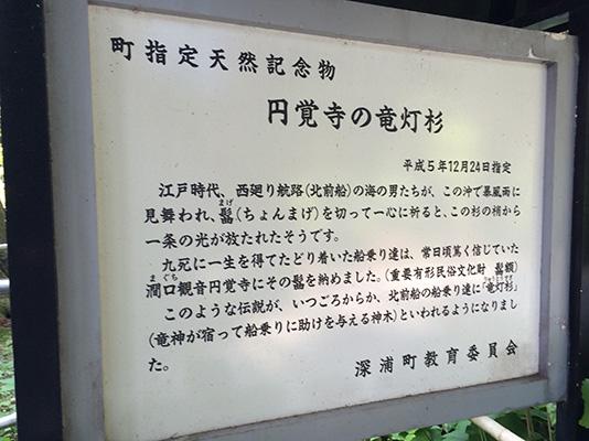 円覚寺 竜灯杉