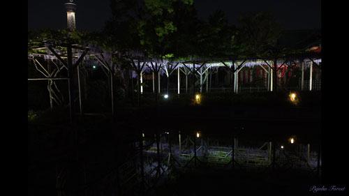 2014_亀戸天神社の夜藤