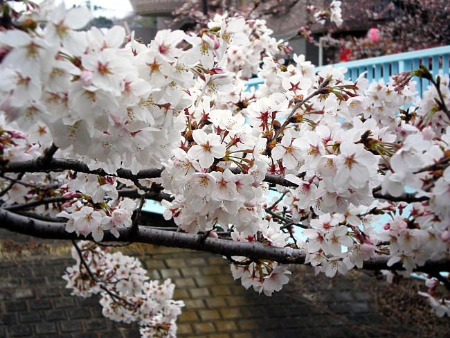 桜の花がいっぱい