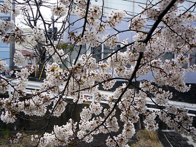 桜の花と黒い枝