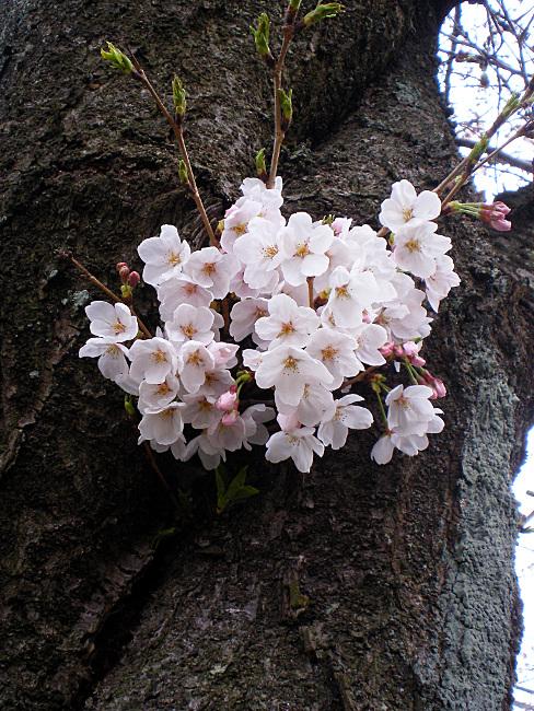 幹に咲いている桜の花
