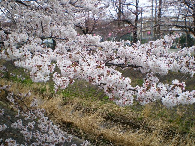 広がった桜の花