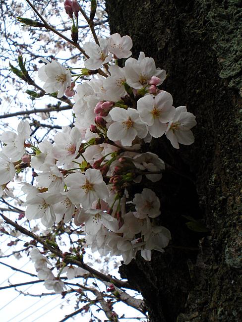 幹に咲いている桜
