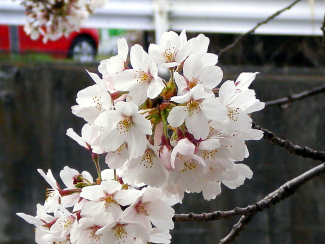 ひとまとまりの桜の花