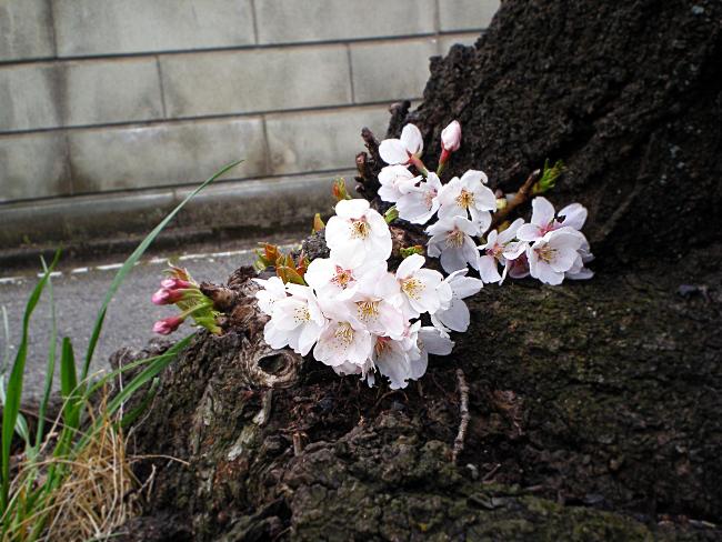 幹に咲いた桜の花
