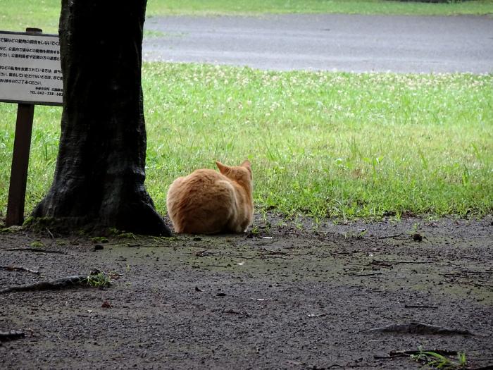 茶色のたま猫