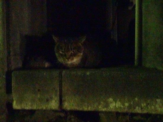 こちらを気にする夜猫