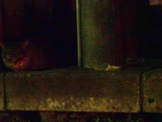 こちらを見る夜猫