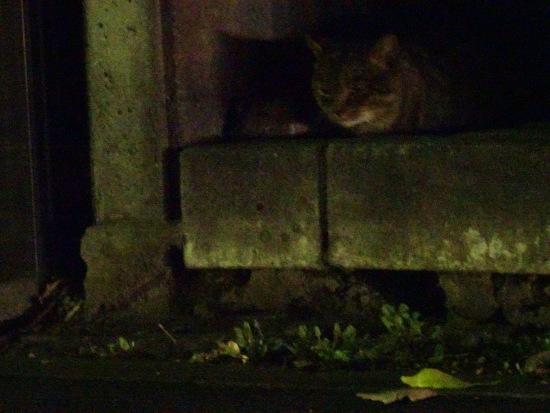 地面を見る夜猫