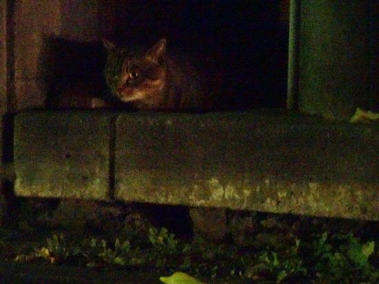 車道を見る夜猫