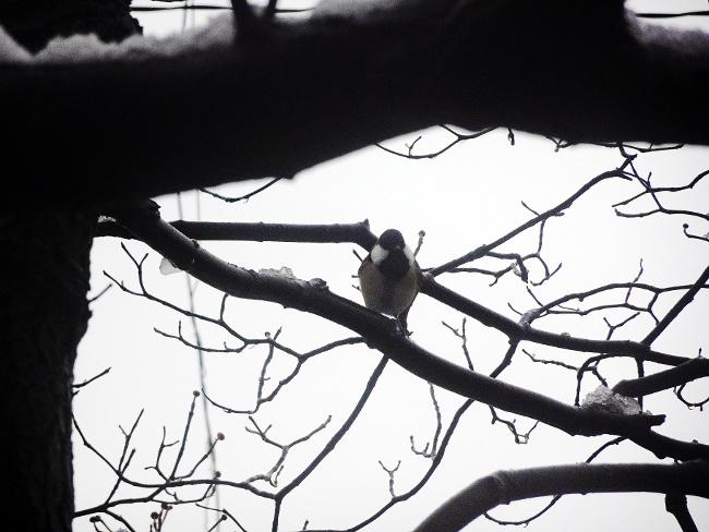 雪の日のシジュウカラ