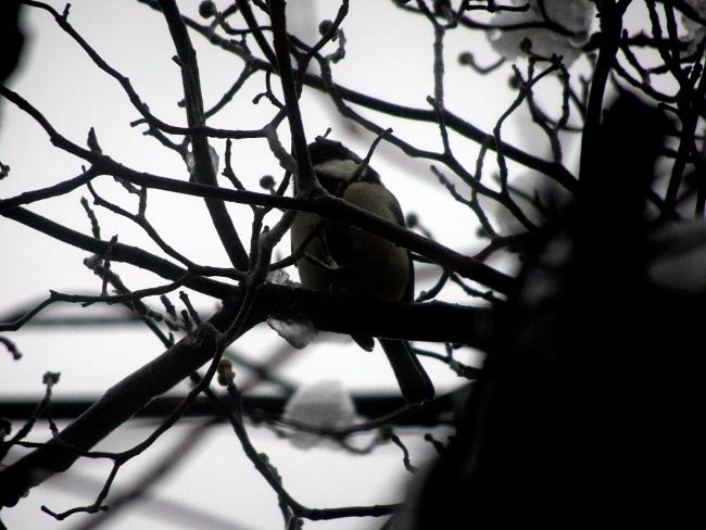 雪とシジュウカラ
