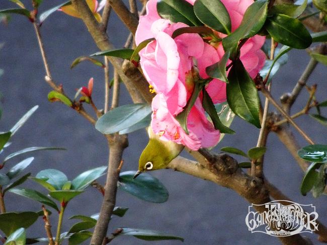 花にとまるメジロ