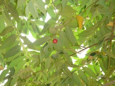 甘い木の実