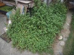 庭の露草1009
