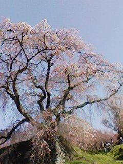 又兵衛桜2011