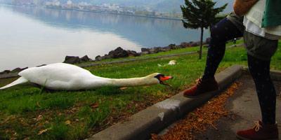 白鳥VS友人3