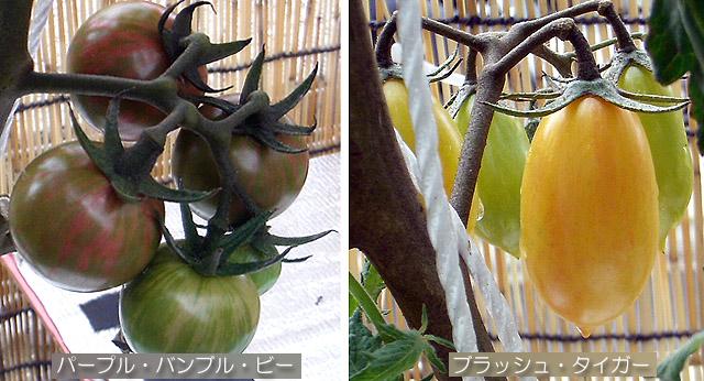 秋トマト エアルーム バンブル・ビー ブラッシュタイガー