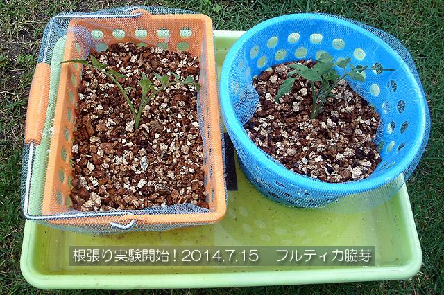 実験栽培 フルティカ 固形培地耕