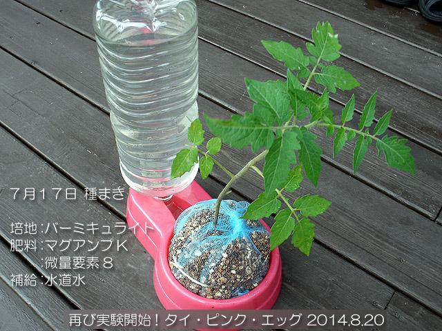 実験栽培 タイ・ピンク・エッグ 固形培地耕 ペット給水器