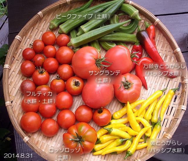 収穫野菜 トマト オクラ とうがらし 万願寺