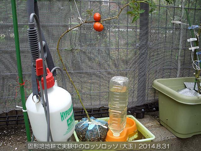 実験栽培 ロッソロッソ 固形培地耕