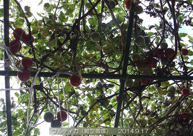 トマト棚 フルティカ 水耕栽培