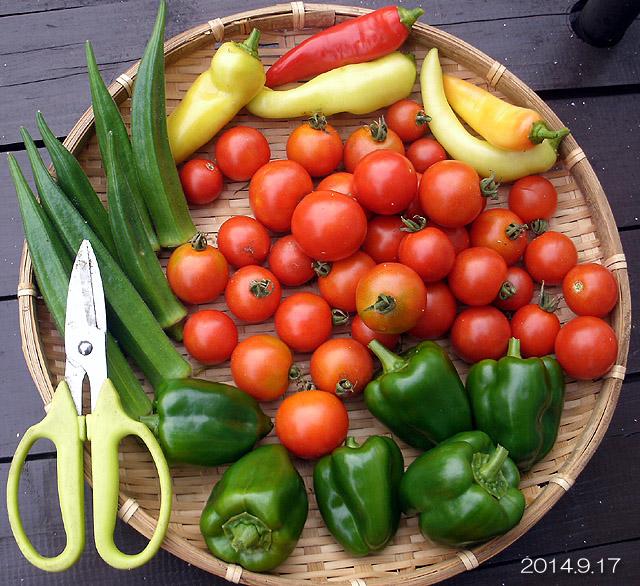 秋野菜 収穫 トマト フルティカ オクラ バナナピーマン ピーマン