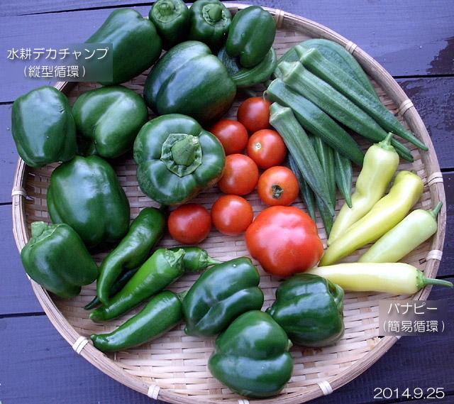 秋野菜 収穫 ピーマン デカチャンプ フルティカ ロッソロッソ バナピー 水耕
